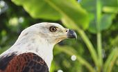 The African Fish Eagle (haliaeetus Vocifer) Portrait Of An  African Fish Eagle