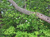 Crab Apple or Dogwood Tree Blossoms in Spring and wood pecker damage