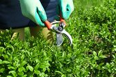 stock photo of clippers  - Pruning bushes in garden - JPG