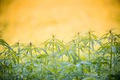foto of marijuana leaf  - Young cannabis plants - JPG