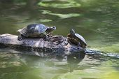 Turtles Sunning On The Log