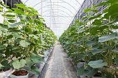 Green Cucumber Field In Greenhouse.