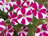 Candy Striped Petunias