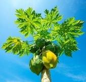 Green and yellow papayas growing on a tree