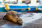 Sea lion sleeping in town near port at Galapagos Santa Cruz island