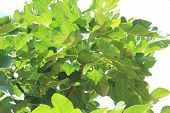figs on a background of green leaves
