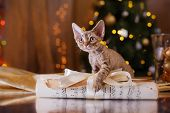 Devon Rex Cat, Christmas And New Year