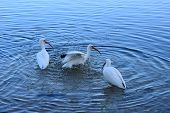 Ibis Trio on the Water