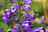 Perennial Lupine flowers