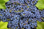 ripe blue grapes freshness background