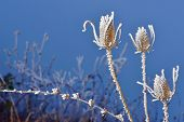 frozen thistles plant  in winter time