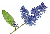 dark blue flowers isolated on white background