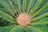 Cycad Scientific Name Is Cycas Circinalis L.
