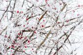 Hawthorn, winter