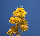 foto of anza  - Member of Agave family Parry - JPG