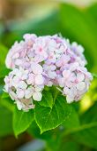 Постер, плакат: Pink Hydrangea In The Park