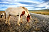 Icelandic Pony on a remote gravel road in Iceland