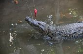 Adult Dangerous Crocodile