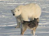 Polar bear with dog