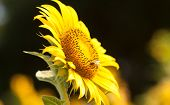 Bees pollinate the flowers of a large sunflower
