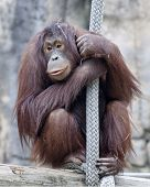 An adult orangutan hanging on to a broad rope.