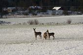 deers on snowcovered meadow