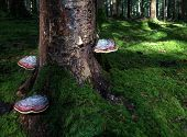 stock photo of bracket-fungus  - Three big reddish bracket fungi grow on a mossy tree trunk in the forest - JPG