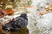 Pigeon over the water