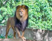 Lion, Smithsonian National Zoo, Washington, D.C.