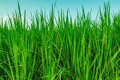Landscape Leaves Green Rice