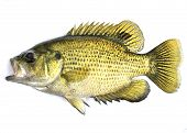 image of bass fish  - An image of a freshwater rock bass - JPG