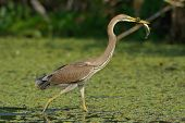 purple heron in natural habitat (ardea purpurea)