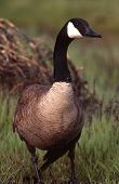 picture of honkers  - Canadian geese are a communal bird and post sentrys to watch for danger - JPG