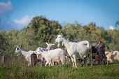 Goat Animals