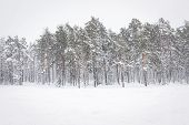 Russian Winter Forest In Snow