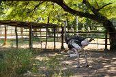 Gray Ostrich