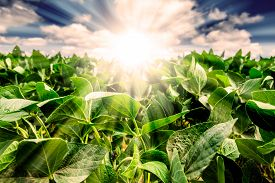 stock photo of soybeans  - Powerful Sunrise behind closeup of soybean plant leaves - JPG