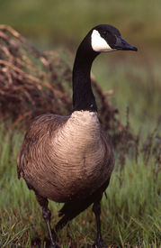 pic of honkers  - Canadian geese are a communal bird and post sentrys to watch for danger - JPG