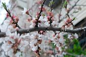 picture of orange blossom  - Cherry blossoms - JPG