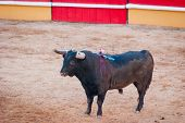 pic of arena  - Bull in bullfight arena during bullfights Portugal - JPG