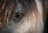 foto of sad eyes  - The grulla bashkir horse eye closeup macro - JPG