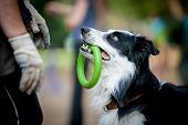 image of border collie  - border collie with the ring watching to owner - JPG