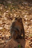 pic of macaque  - Long tailed macaque  - JPG