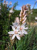 Asfodelo ( Asphodelus Microcarpus )