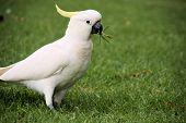 picture of cockatoos  - Beautiful sulphur crested cockatoo in the royal botanic gardens in Sydney - JPG