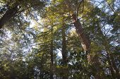 image of coniferous forest  - A coniferous forest in the early morning at white memorial in Litchfield Connecticut - JPG