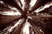 foto of sequoia-trees  - Giant tree closeup in Sequoia National Park - JPG