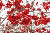 Постер, плакат: Viburnum Berries In Autumn