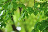 stock photo of linden-tree  - deciduous tree in height of spring - JPG