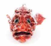 pic of scorpion  - Scorpion Fish  isolated on a white background